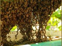 včelia záclonka