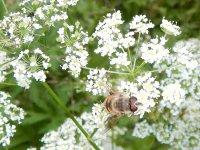 včielka (?)