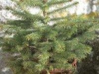 vianočný stromček v črepníku