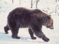 Vystava - medveď,  foto: Rudolf Pado