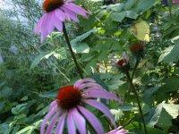 zber liečivých rastlín