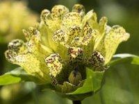 Žlté kvety s fialovými bodkami