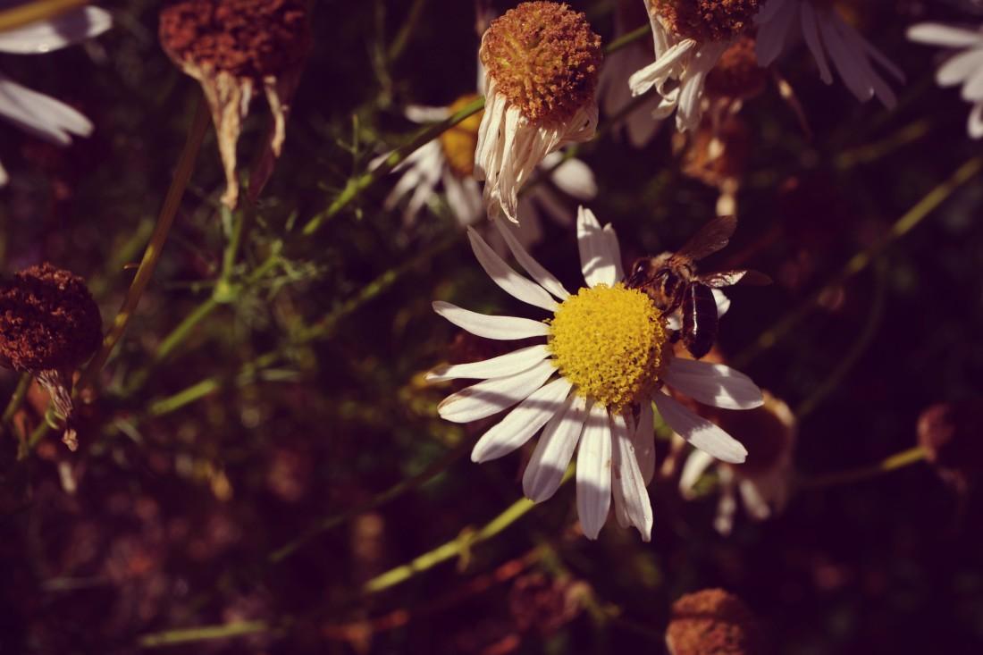 včela a harmanček