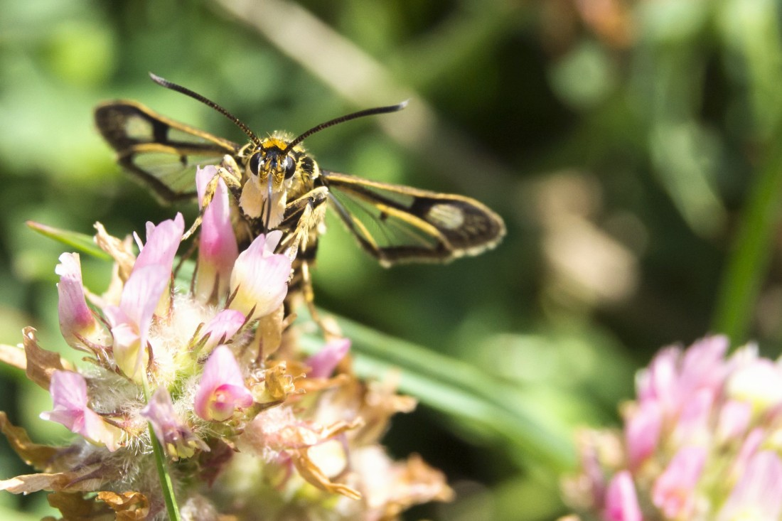 včela samotárka