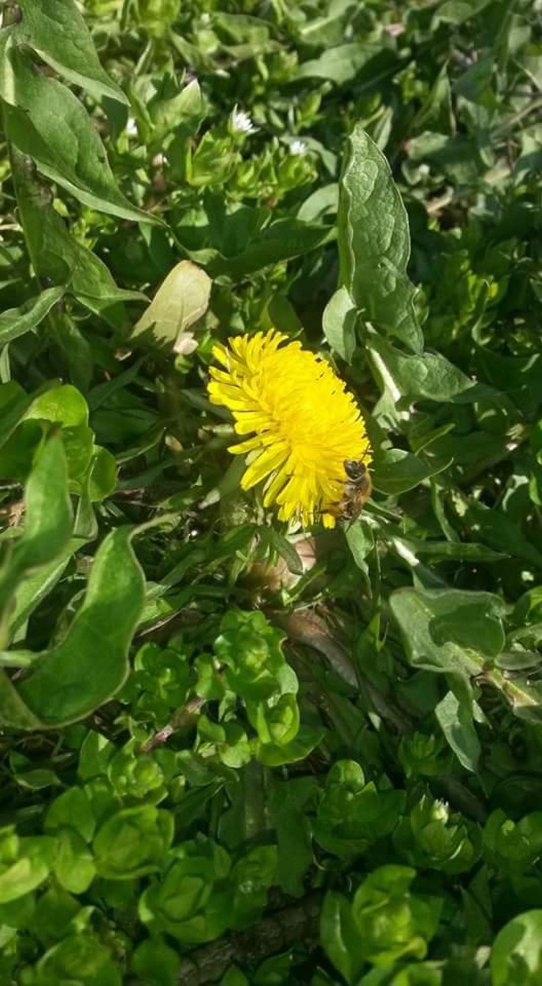 včielka na pupavienke...