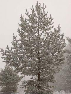 Borovica lesná v zime