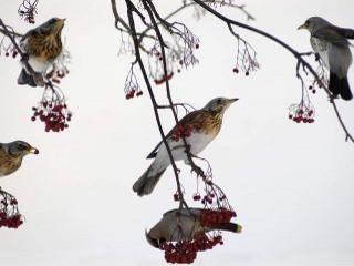 Chochláč severský (Bombycilla garrulus) sa o potravu - plody jarabiny vtáčej delí s drozdami