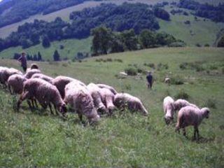 Chov oviec a kôz
