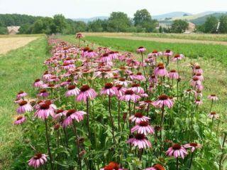 Echinacea - na poli ozdoba, v čaji lieči