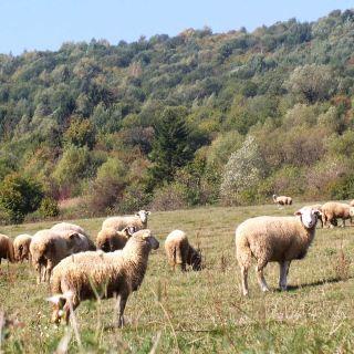 farma AGO Kysuce - ovce detail