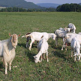 Farma Sklené - kozy