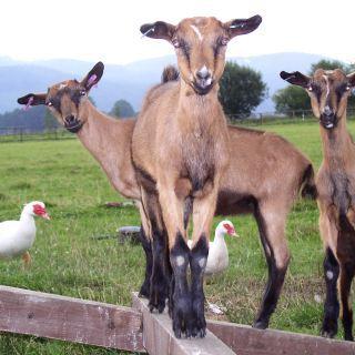 farma Slnečná - Tri múdre kozliatka