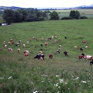 farma Velits - stádo kráv