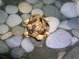 Hotová müsli korytnačka