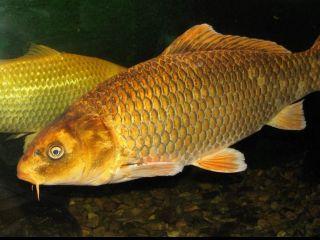 Kapor rybničný