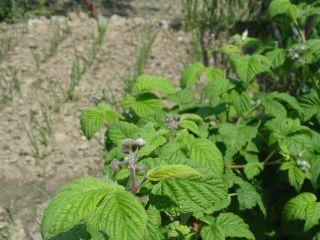 Maliny v záhradke vytvárajú tieň ďalším rastlinám