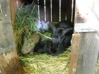 Matka s mladými králikmi sú chované spolu do veku 8 týždňov