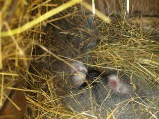 Niekoľkodňové králiky v hniezde | Alena Pohorencová
