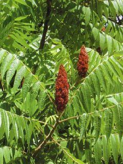 Sumach pálkový