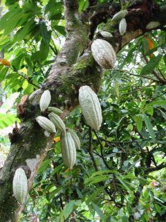 Takto rastie kakao
