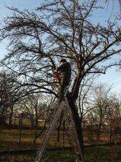 Zimný rez ovocných stromov
